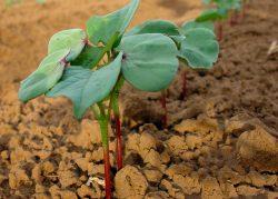 Journey of Cotton: Growing | Barnhardt Cotton