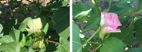 stages of cotton growing